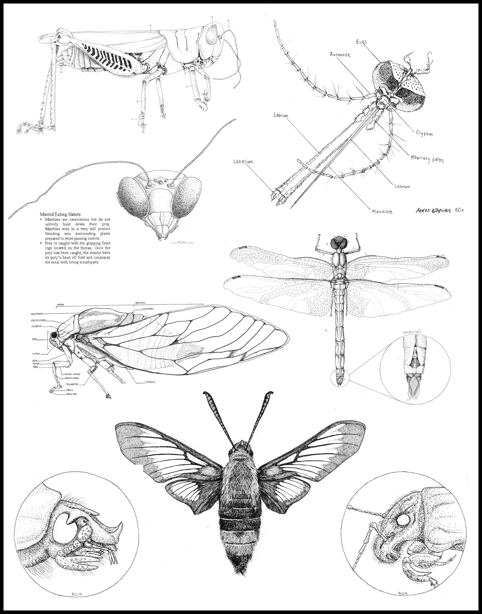Example student illustrations of insects from the Biological Illustration course.