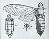 Some New Australian Cicadidae by Howard Ashton