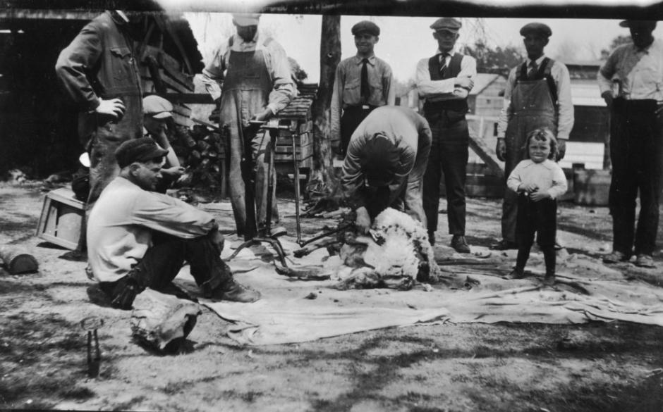 "During the war Extension held ""patriotic sheep-shearing demonstrations."""
