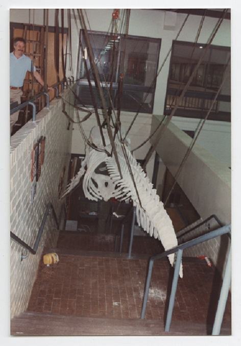 Installing whale skeleton in College of Veterinary Medicine building, 1988.