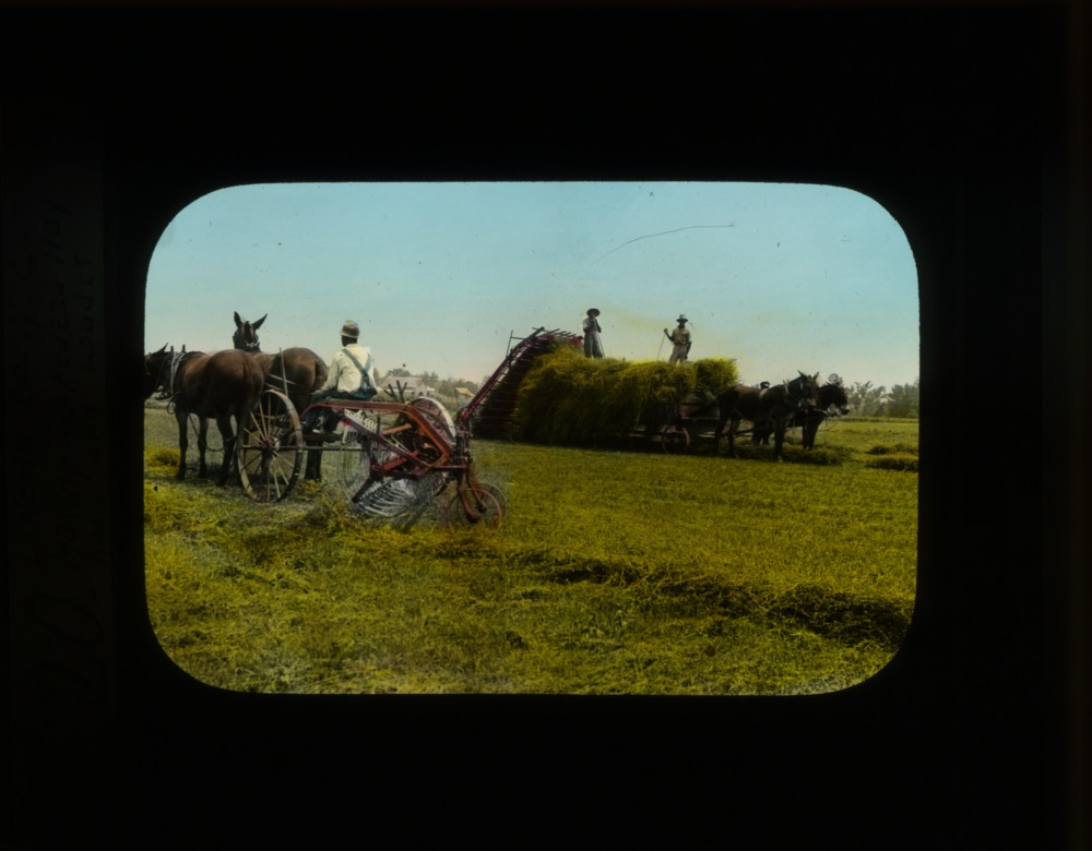 """Harvesting Lespedeza hay with mule-drawn agricultural equipment"""