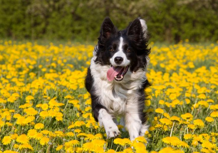 A dog running through a field of dandelions