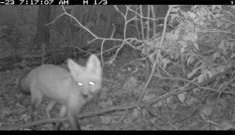 "The coyote who said ""cheese"" and the Wolfpack Citizen Science Challenge"