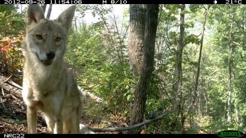 Coyote image taken by camera trap