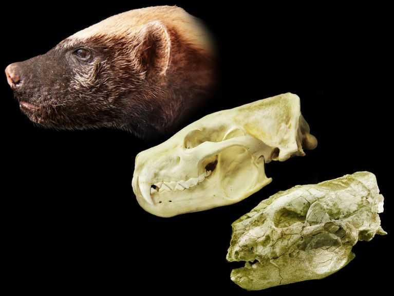 Distorted skull (bottom) of an ancient giant honey badger with a digital reconstruction of what the complete skull (middle) and life appearance (top) of what the animal would have looked like alive.