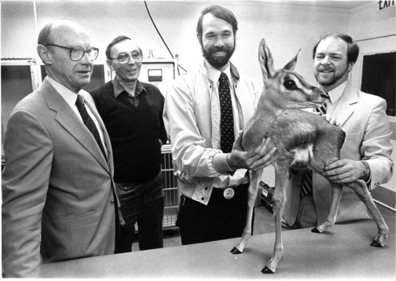 Dr. Loomis and others examining a Grant's gazelle at the N.C. Zoo, 1985