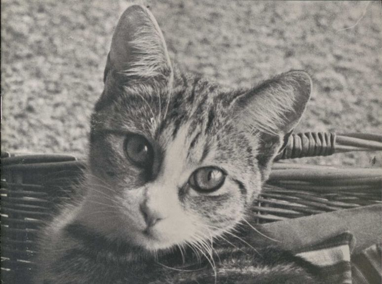 A black and white image of a kitten in a basket, looking directly at the camera.