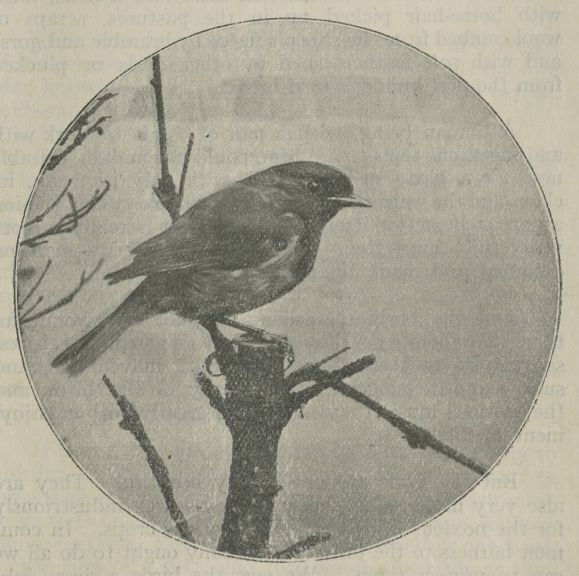 "Small song bird perched on a branch, from the cover of ""Robbing the Birds,"" a pamphlet published by the Royal Society for the Protection of Birds (date unknown)."