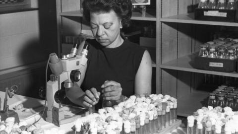 "Justina Williams, first African American academic staff member at NC State. A note with the photo reads: ""Counting the various mutations which result from crossing the lines of fruit flies is one of the duties of Mrs. Justina Williams, research assistant in the genetics department at NC State University."""