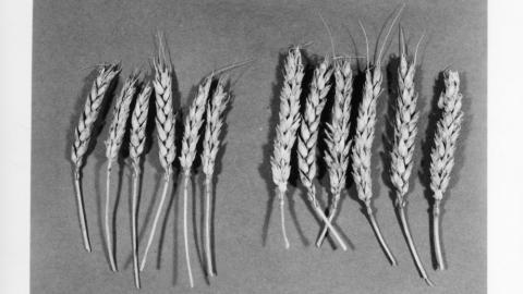 Oat and rye flours were possible alternatives to wheat (white) flour duirng World War I.