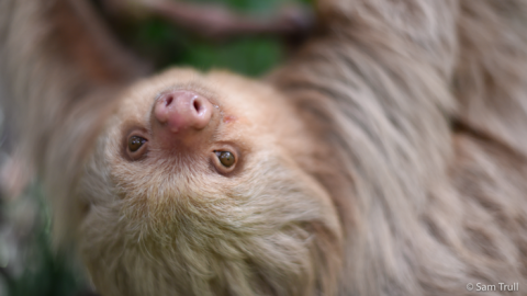 Sloth image courtesy of The Sloth Institute © Sam Trull
