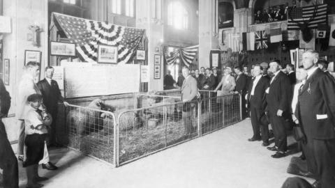 A patriotic sheep display in a Raleigh bank, 23 May 1918, one of several NC Agricultural Extension Service promotions during World War I.