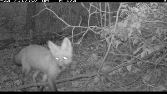 Image of the wolf featured in the Wolfpack Citizen Science Challenge