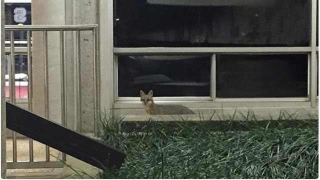 A fox outside Sullivan Hall in a photo contributed by Instagram user Noah Brewer.