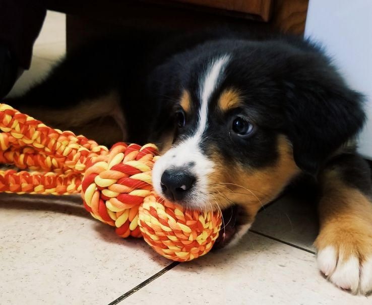Dundee, an Australian Shepherd puppy, chews on a yellow and orange rope toy.