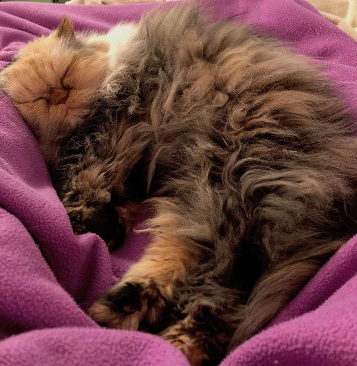 Possum, a persian calico cat, sleeps in a purple blanket.