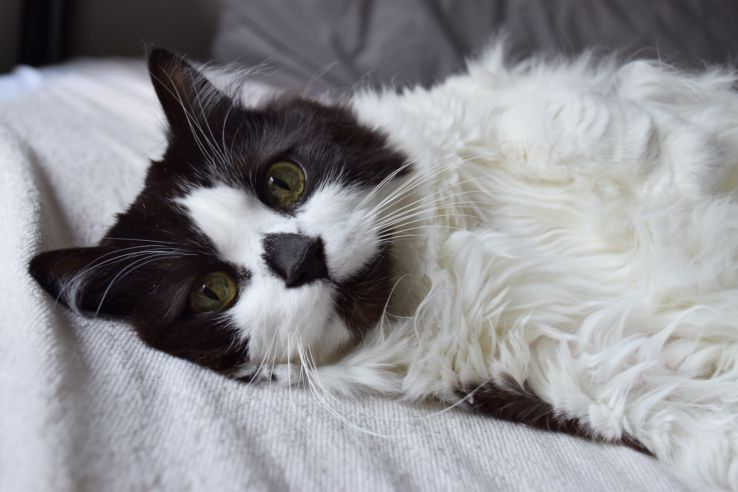 Tinker, a long-haired black and white cat, looks at the camera