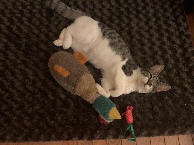 Violet, a one-eyed tabby kitten, plays with her favorite duck toy