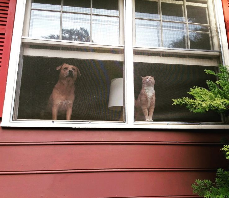 Dinko, a dog, and Archie, a cat, watch the neighborhood from the windows of their house