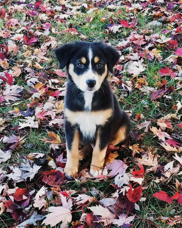 Dundee, an Australian Shepherd puppy, sits in autumn leaves.