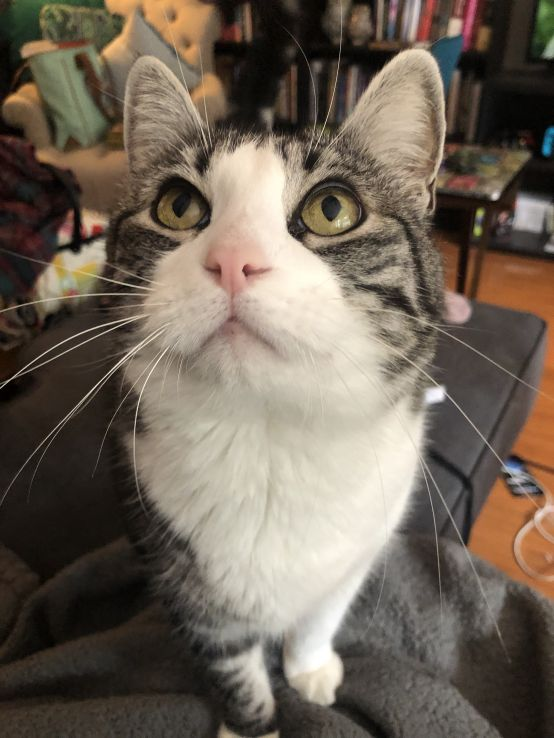 Gilligan, a black and white tabby cat, looks up at the camera.