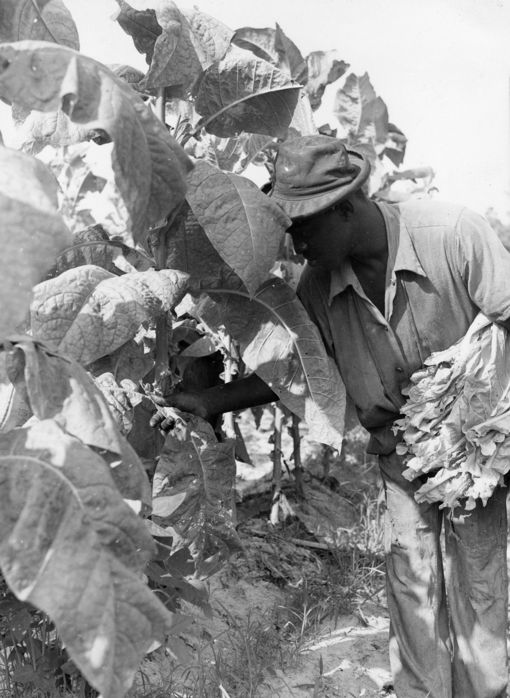 Tobacco Harvesting Lesson Guides Teacher Resources